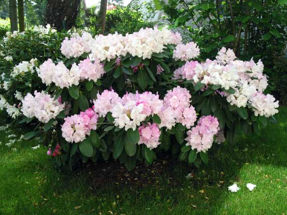 hellrosa Rhododendron
